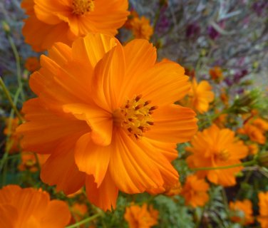 USA SELLER Cosmos Sulphureus orange 25 seeds
