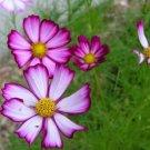 USA SELLER Cosmos Sensation Picotee 25 seeds