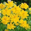 USA SELLER Cosmos Sulphureus Gold) 25 seeds