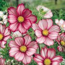 USA SELLER Cosmos Bipinnatus Sensation Day Dream 25 seeds