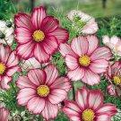 USA SELLER Cosmos Bipinnatus Sensation Day Dream 25 seeds