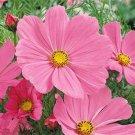 USA SELLER Cosmos Bipinnatus Sensation Pinkie 25 seeds