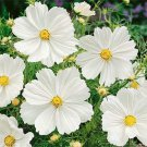 USA SELLER Cosmos Bipinnatus Sensation Purity 25 seeds