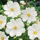 USA SELLER Cosmos Bipinnatus Sensation Purity 25 seeds
