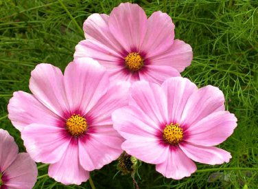 USA SELLER Cosmos Radiance 25 seeds