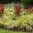 USA SELLER Sweet Flag Grass 10 seeds
