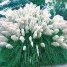 USA SELLER White Pampass Grass 20 seeds
