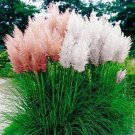 USA SELLER Pampass Grass Mix 20 seeds