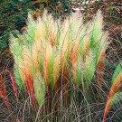 USA SELLER Dwarf Pampass Grass Mix 20 seeds