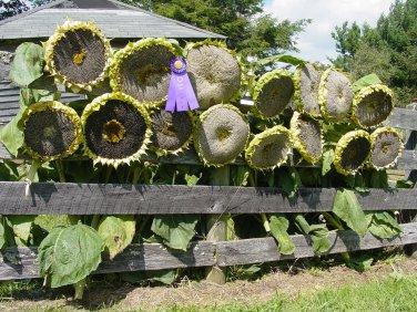 USA SELLER Mongolian Giant sunflower Mix 20 seeds