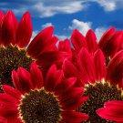 USA SELLER Red Sun Sunflower 20 seeds