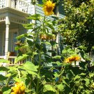 USA SELLER 12ft Tall Skyscraper Sunflower 20 seeds