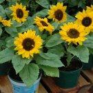 USA SELLER Dwarf Sunspot Sunflower 20 seeds