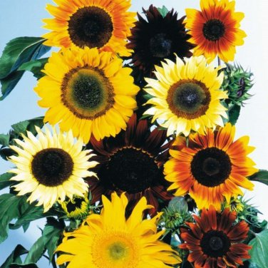 USA SELLER Sunflower Seed Mix 20 seeds