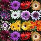 USA SELLER African Daisy Mix 25 seeds