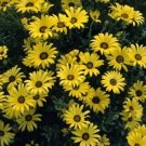 USA SELLER Yellow African Daisy Mix 25 seeds