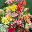 "USA SELLER Peruvian Lily ""Dr. Salter's Mixed"" 25 seeds"