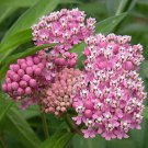 USA SELLER Swamp Milkweed 25 seeds