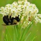 USA SELLER Whorled Milkweed 25 seeds
