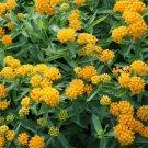 USA SELLER  Yellow Milkweed 25 seeds