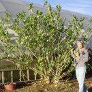 USA SELLER  Giant Milkweed 25 seeds