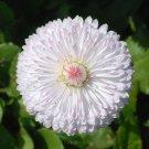 USA SELLER Dwarf White English Daisy 25 seeds
