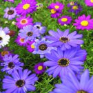 USA SELLER Swan River Daisy Mix (Brachyscome) 25 seeds