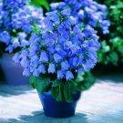 USA SELLER Blue Canterbury Bells 25 seeds