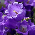 USA SELLER Purple Canterbury Bells 25 seeds