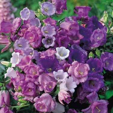 USA SELLER Mixed Canterbury Bells 25 seeds