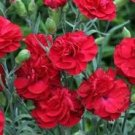 USA SELLER Red Carnation 25 seeds