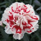 USA SELLER Super Truper Carnation 25 seeds