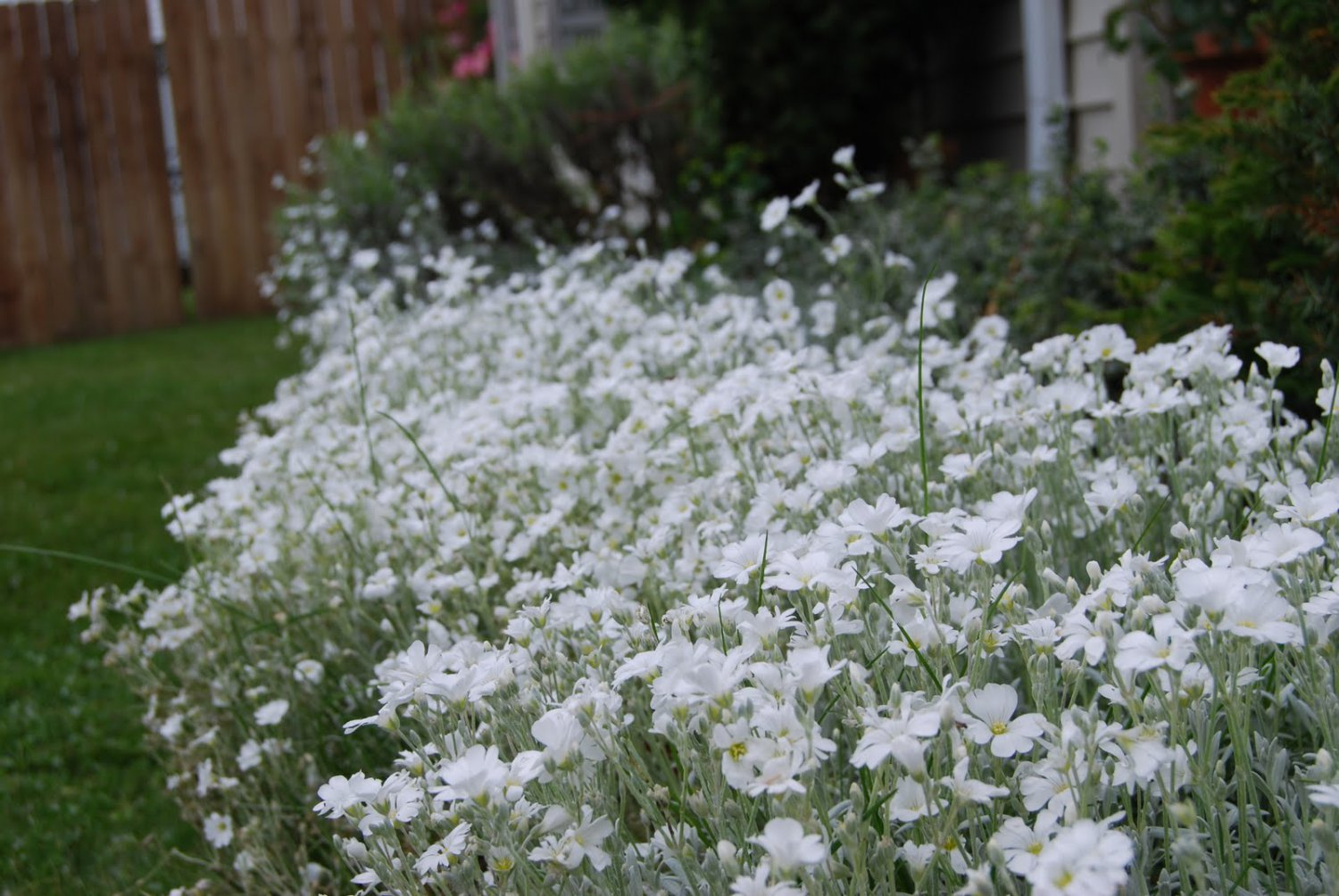 USA SELLER Snow in summer 100 seeds