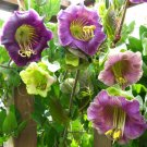 USA SELLER  Cathedral Bells Mix 25 seeds