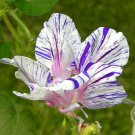 USA SELLER Blue Tiger Hige Morning Glory 10 seeds