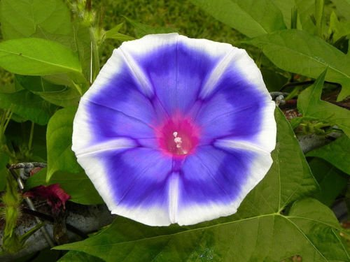 USA SELLER Bluji Fade Morning Glory 10 seeds