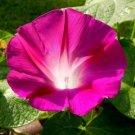 USA SELLER Crimson Rambler Mist Morning Glory 10 seeds