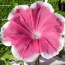 USA SELLER Yuuzuki Morning Glory 10 seeds