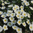 USA SELLER   Ensign White Morning Glory 10 seeds