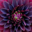USA SELLER   Black Dahlia Flower 10 seeds
