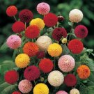 USA SELLER Double Dahlia Poponna 10 seeds