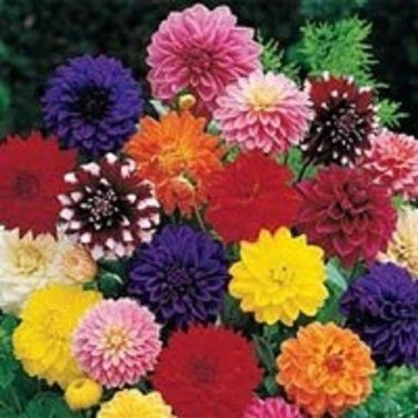 USA SELLER Dinnerplate Dahlia Mix 10 seeds