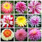 USA SELLER Precious Pinks Dahlia Mix 10 seeds