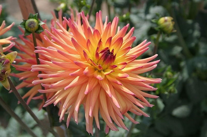 USA SELLER Cactus Apricot Double Dahlia 10 seeds