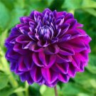 USA SELLER Boogie Knights Double Dahlia 10 seeds