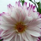 USA SELLER Purple Edge Double Dahlia 10 seeds