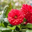 USA SELLER Opera Red Dahlia 10 seeds