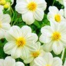 USA SELLER White Ribbion Dahlia 10 seeds