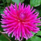 USA SELLER Hot Pink Cactus Dahlia 10 seeds