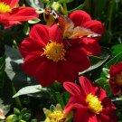 USA SELLER Mingon Red Dahlia 10 seeds